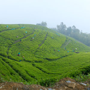 Tea estates in Sikkim