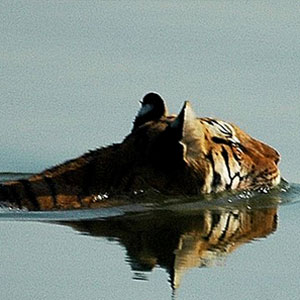 Tiger safaris in Pench National Park
