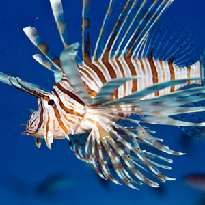 Lionfish spearing marine conservation