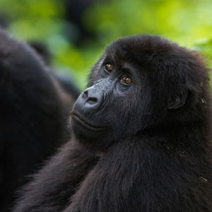 Gorilla safaris in the Republic of Congo