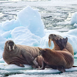 Arctic wildlife cruises