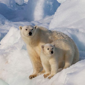 Where to see polar bears on an Arctic cruise