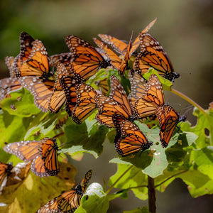 Monarch butterfly migration holidays