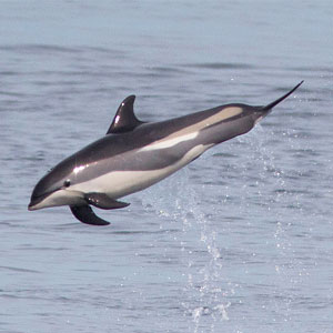 Dolphin watching in Scotland