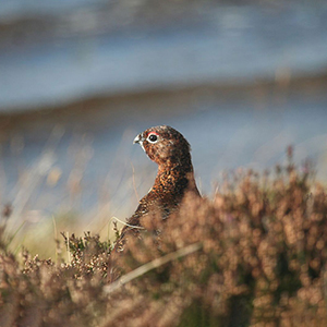Responsible wildlife tourism in Scotland