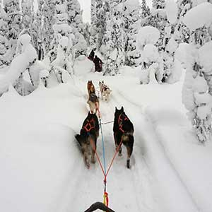 Husky safaris in Finland