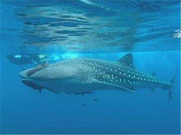 Sea of Cortez whale shark research holiday Mexico