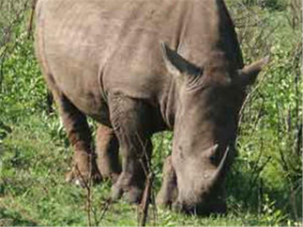 Rhino Capture on a game reserve in South Africa