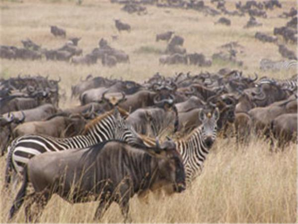 Great Wildebeest Migration Safari in Kenya and Tanzania, 10 days