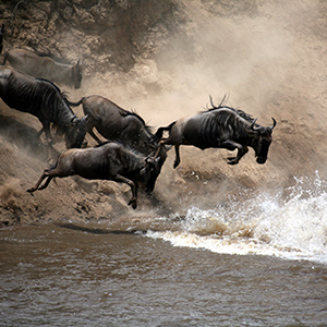 The Wildebeest Migration in Tanzania