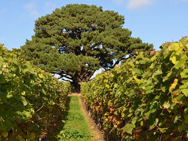 Pulborough vineyard tour and wine tasting in Sussex, England