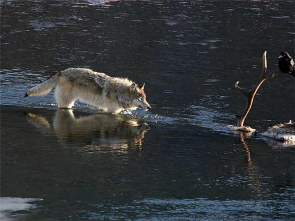 Tracking wolves in Yellowstone in winter, USA