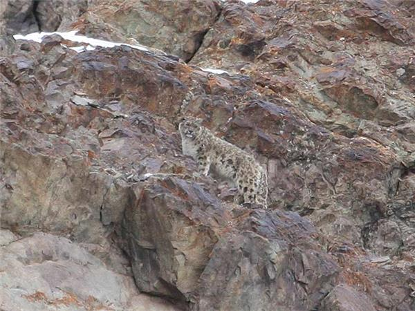Snow Leopard searching holiday in Ladakh