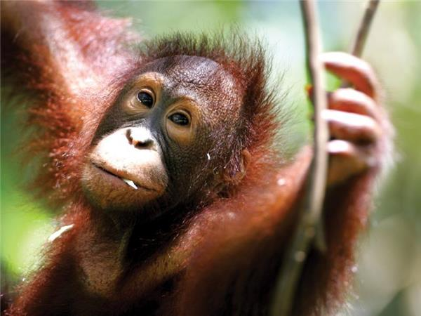 Borneo holiday, Land of the Orang Utan