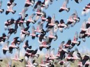 Flock of Galahs, South Australia. Photo by South Australia Tourist Board