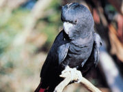 Glossy Black Cockatoo, South Australia. Photo by South Australia Tourist Board