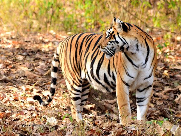 India tiger safaris