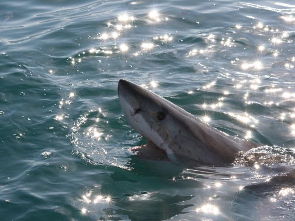 The great white shark conservation project in South Africa