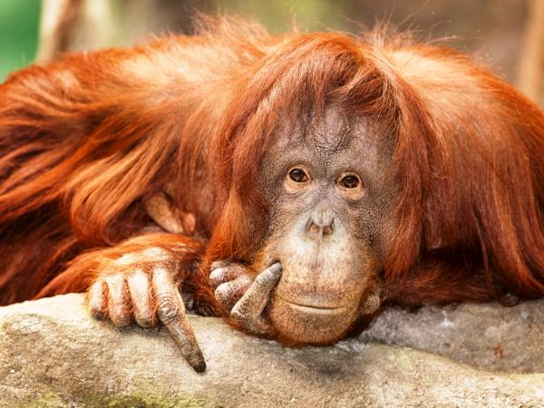 Borneo orangutan holiday