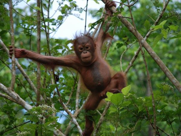 Orangutan conservation holiday in Borneo