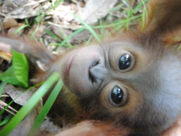 Orangutan volunteering in Borneo