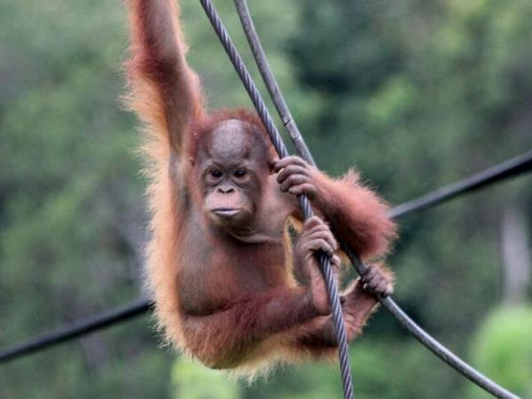 Orangutan conservation in East Kalimantan, Indonesia