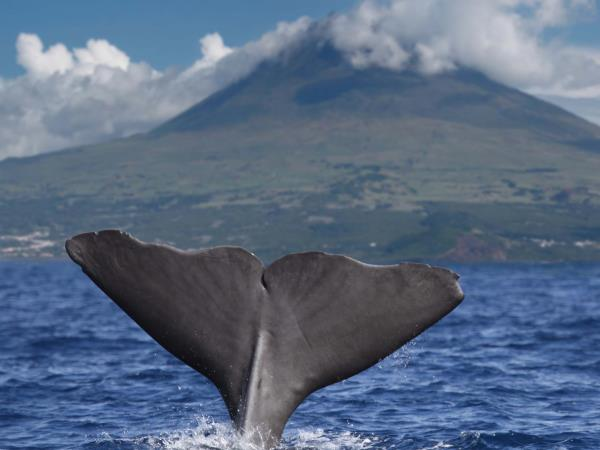 Whale conservation holiday in the Azores