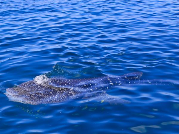 Whale Shark conservation holiday in Tanzania