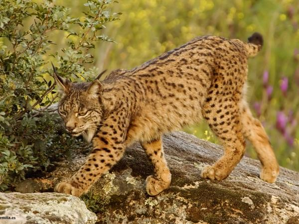 Lynx watching in Spain