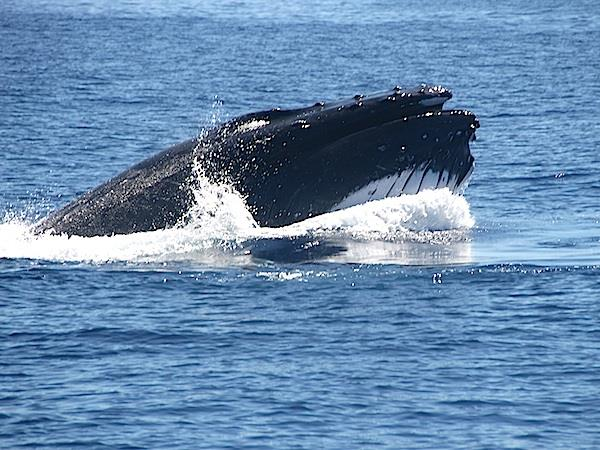 Swim with humpback whales in Tonga