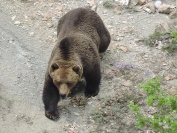 Brown bear tracking in Northern Greece