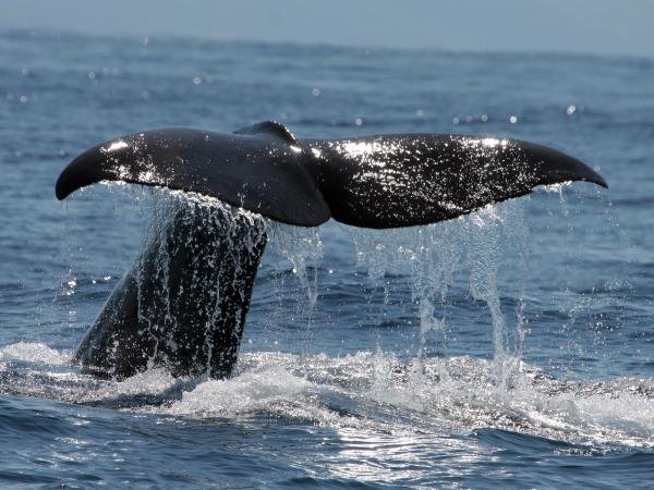 Azores whale and dolphin research holiday, 6 days