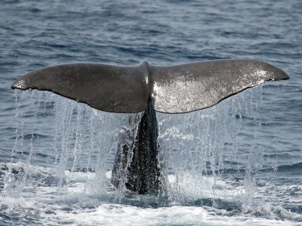 Whale & dolphin research holiday in the Azores, 10 days