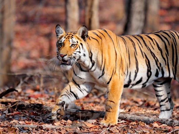 Central India cultural and wildlife tour, tigers & tribes