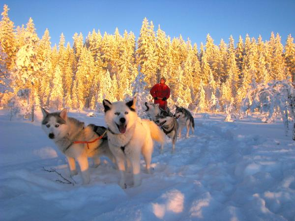 Husky safari in Finland, tailor made