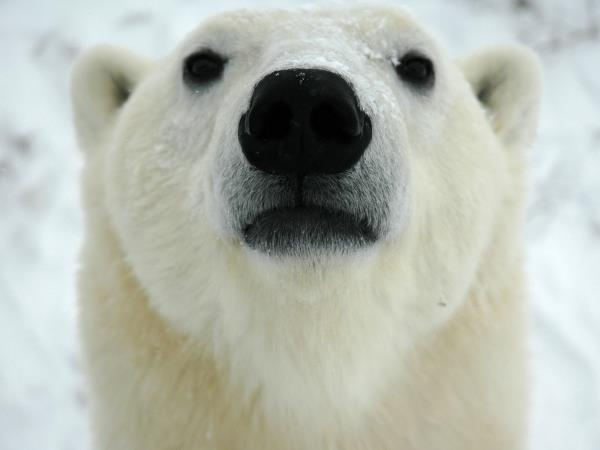 Polar Bear watching holiday, Canada