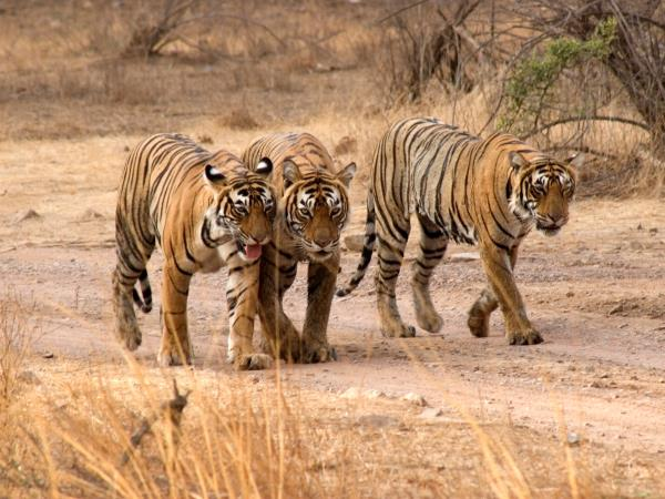 Tiger safari and Golden Triangle tour in India