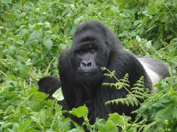 Uganda tailor made budget Gorilla safari
