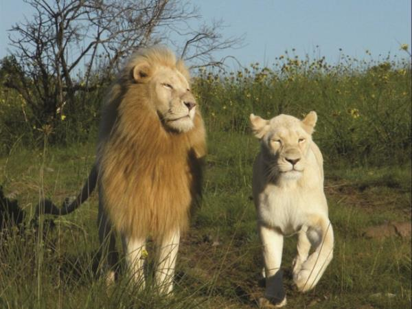 White Lion safari holiday, South Africa