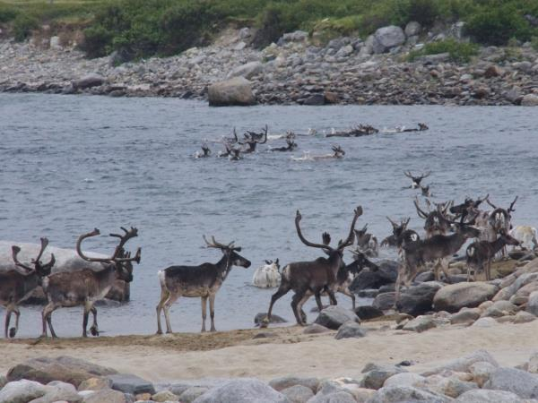 Caribou migration holiday in Canada