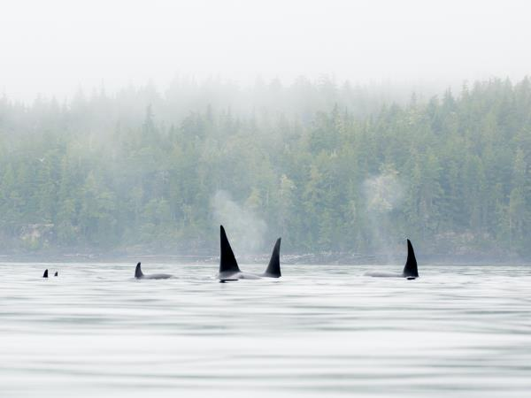 Kayaking with Orcas in British Columbia, Canada