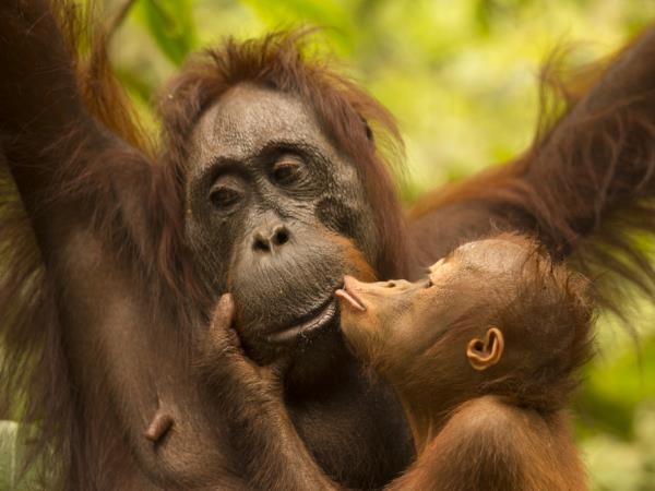 Orangutan photography in Borneo