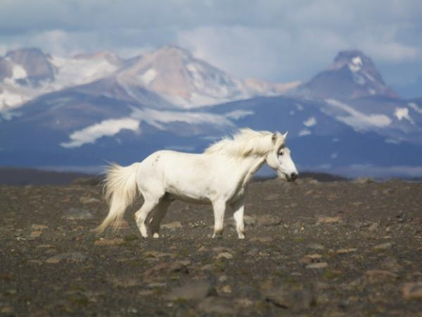 Thingvellir horse riding holiday in Iceland