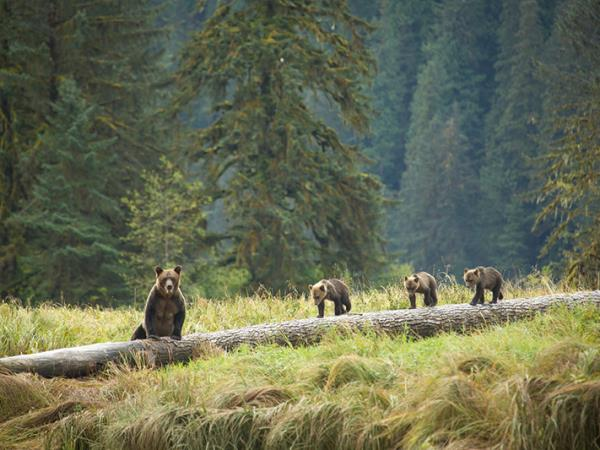 Bear watching in British Columbia, Canada
