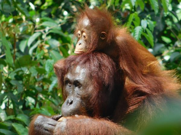 Tanjung Puting orangutan holiday in Borneo