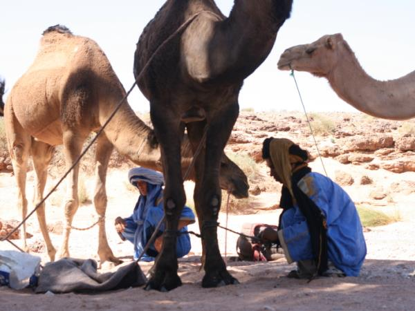 Budget camel safari in Morocco