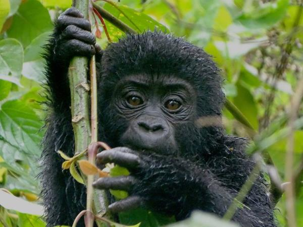 Chimp and gorilla tracking in Uganda