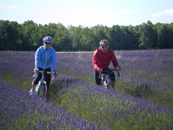 Lavender fields cycling holiday in the South of France