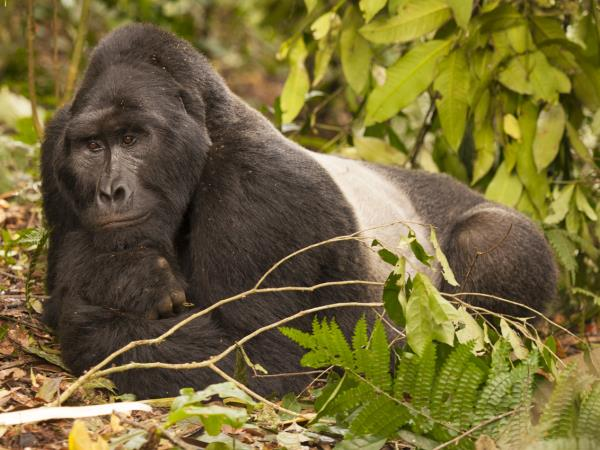 Gorilla photography holiday in Uganda