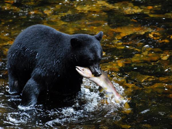 Great Bear Rainforest sailing cruise, Canada